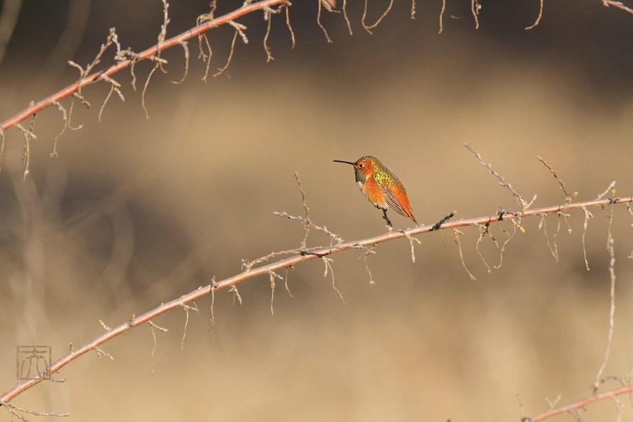 Allen's Hummingbird 121611-2