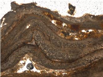 珊瑚藻礁切片顯示,藻礁有明顯的分層現象,亦即每一層代表一新的世代。(張睿昇攝)