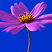 Blue against Pink by ♥ Spice (^_^)