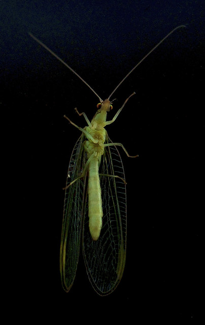 Lacewing through double glazing
