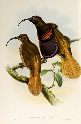 025-Ave del Paraiso de Bennet-The birds of New Guinea and the adjacent Papuan islands..1875-1888-Vol I-Gould y Sharpe