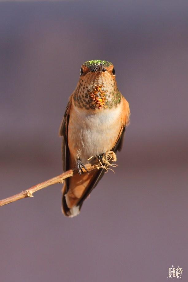 Allen's Hummingbird 122411