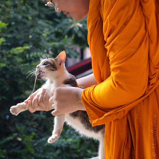 Buddhist Cat