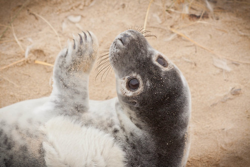 Seal pup at Horsey, Norfolk