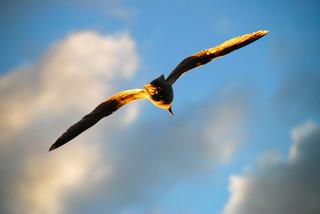 Golden Gull!