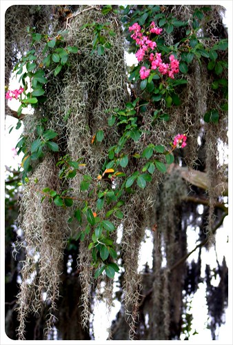 savannah spanish moss