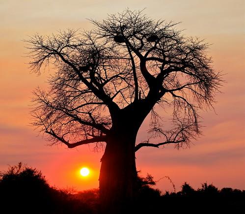 無料写真素材, 自然風景, 樹木, 朝焼け・夕焼け, バオバブ