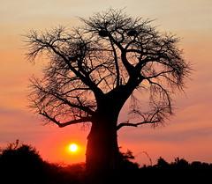 branch, tree, silhouette, adansonia, morning, dusk, sunset, sunrise,