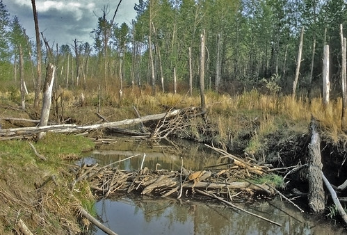 Beaver dams like this one help to create wetlands. FWS photo.