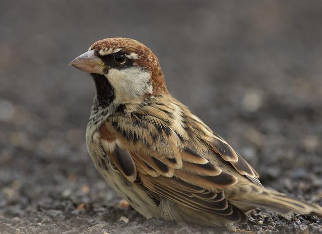 spanish sparrow 3