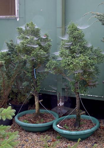 cryptomeria japonica group planting willowbog bonsai rh willowbog bonsai co uk Black Dragon Cryptomeria Bonsai Black Dragon Cryptomeria Bonsai