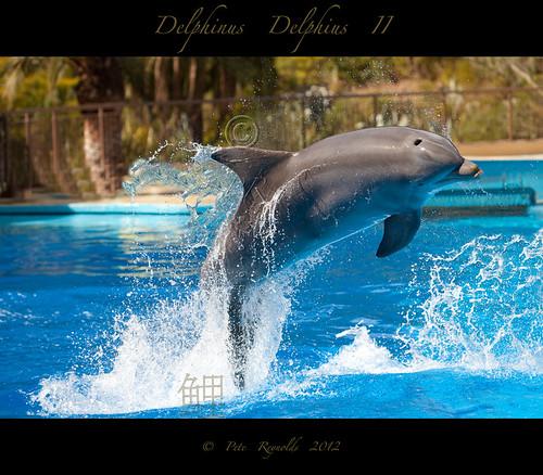 Delphinus Delphius 2