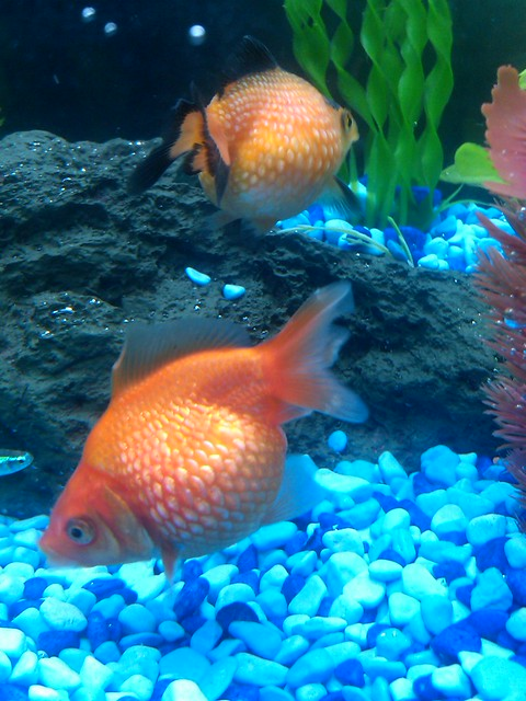 Big fat gold fish and a few small fish in our blue stone for Cholesterol in fish