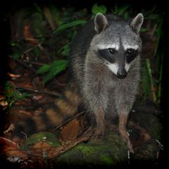 animal, raccoon, mammal, fauna, viverridae, procyon, wildlife,
