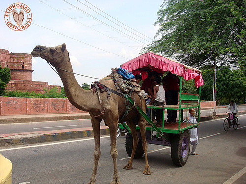 FlipNomad's Photo Thursday - Camel Carriage in Agra