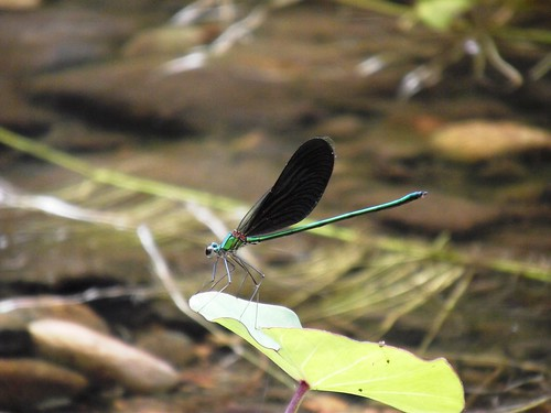 Beautiful Demoiselle, Broad-Winged damselfly (calopteryx virgo)