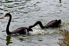 animal(1.0), black swan(1.0), water bird(1.0), swan(1.0), water(1.0), fauna(1.0), seaduck(1.0), bird(1.0), wildlife(1.0),