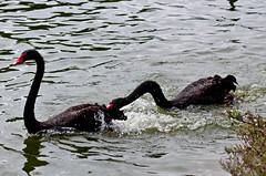animal, black swan, water bird, swan, water, fauna, seaduck, bird, wildlife,