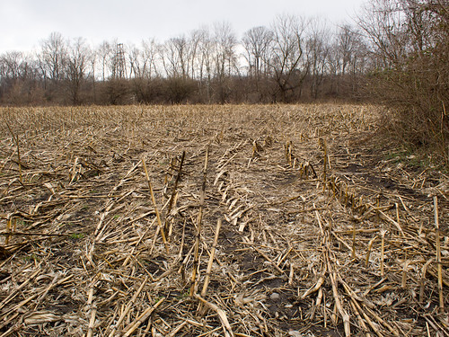 Tilled Cornstalks.