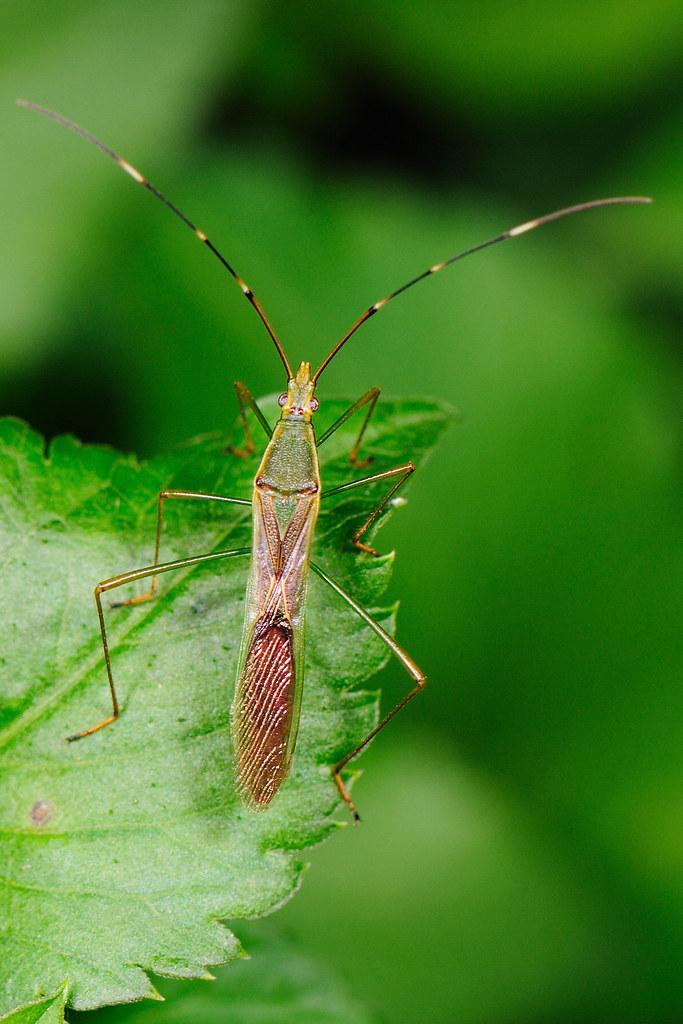 禾蛛緣椿象 Leptocorisa acuta