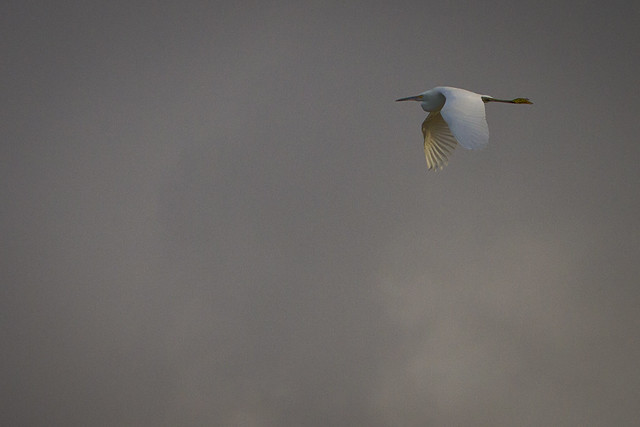 Great Egret in Flight over Bakersfield