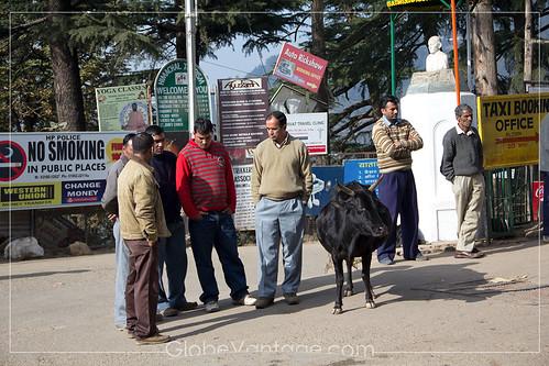 Mcleodganj street cow
