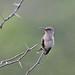 086 Hummingbirds