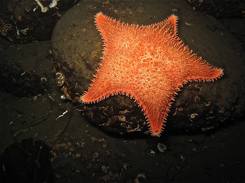 Spiny Red Star -  Hippasteria spinosa