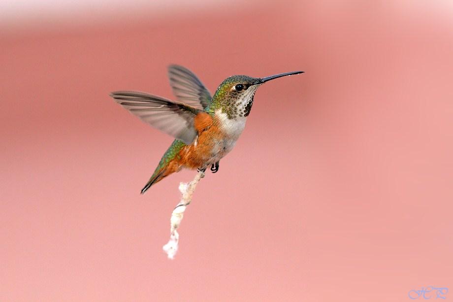 Allen's Hummingbird 020112-2