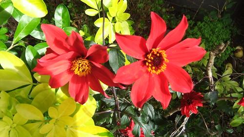Dalia Mexican Red