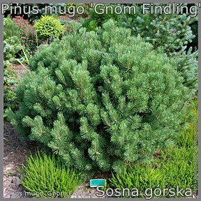 Pinus mugo 'Gnom Findling' - Sosna górska