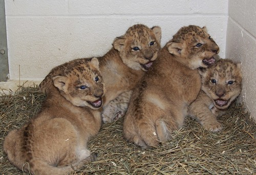 African Lion Shera's Cubs at the Smithsonian's National Zoo