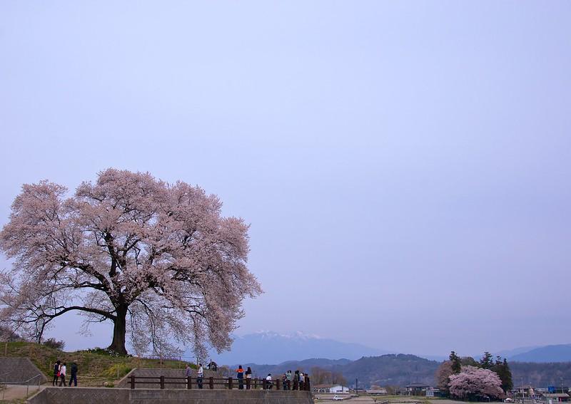 わに塚の桜 Wanitsuka's Sakura