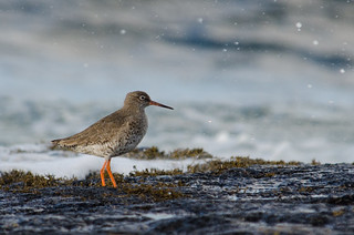 Redshank in the splash zone