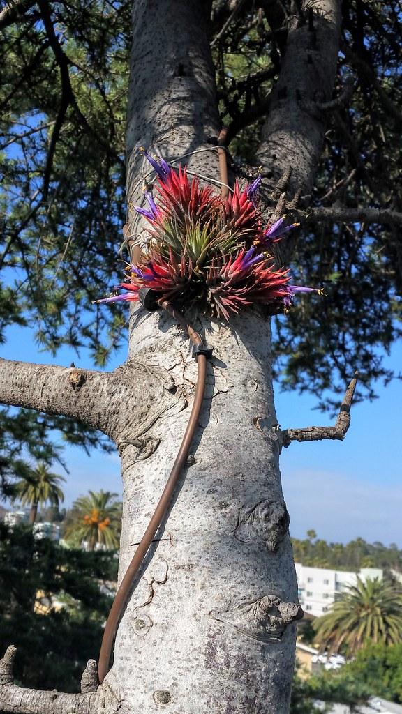 Tillandsia ionantha -  My Highest Epiphyte