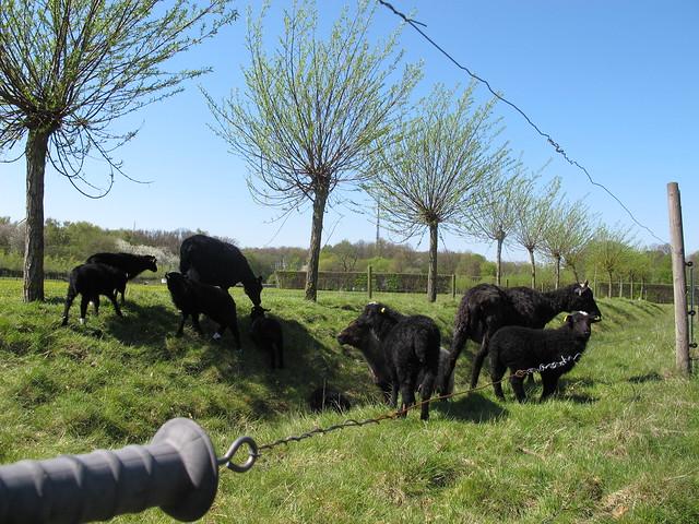 sunday, cows, fredriksdal, helsingborg