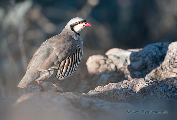 Chukar Partridge - Foliage Blur