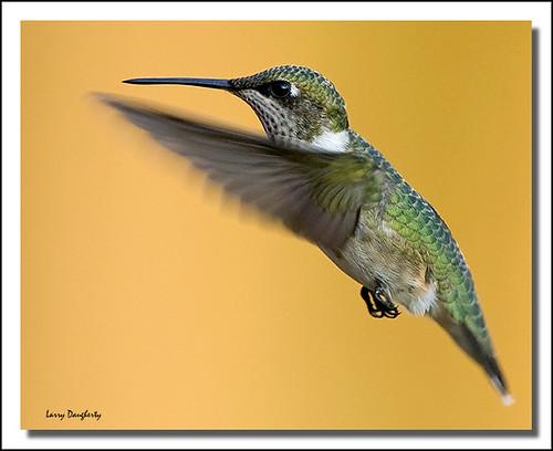 bird nature fly wings nikon louisiana hummingbird ngc folsom feathers npc nikkor hummer rubythroatedhummingbird supershot d700 saariysqualitypicturesgallery nikkor17xtc birdperfect mizellfarms mygearandme nikkor500mmf4lens