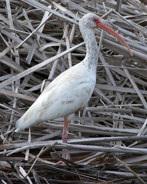 White Ibis - 4