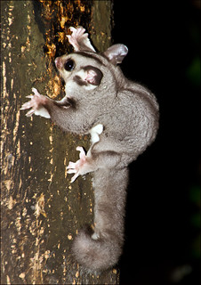 Boom! It is a Sugar Glider - Petaurus breviceps