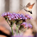 Hummingbird Hawk Moth feeding on Verbena flowers by Tony Emmett