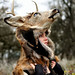 Deer Headdress