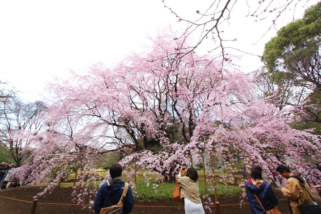 Sakura Photo 2011Rikugien (11)