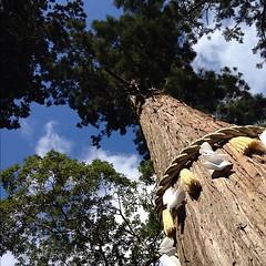 由岐神社の大杉、樹齢八百年。