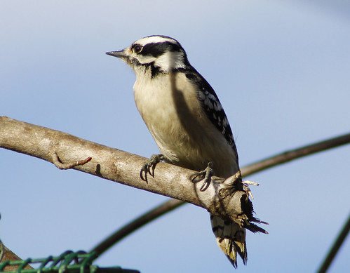 Miss Pretty ! Female Downy Woodpecker Glenola North Carolina