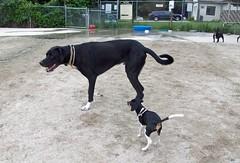 DogPark_Rosie_82111