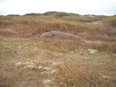Elephant Seal7