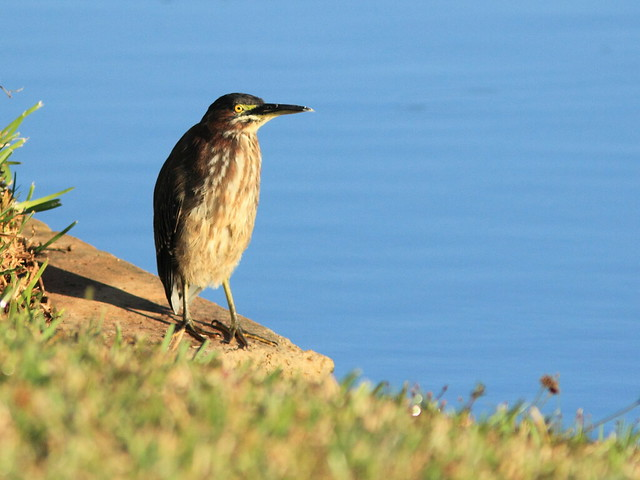 Green Heron 20111230