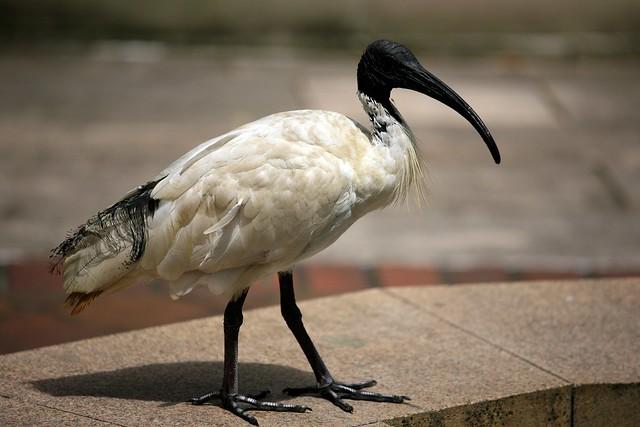 Australian White Ibis Bird