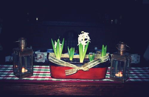 My hyacinths